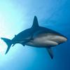 sharks-100x100